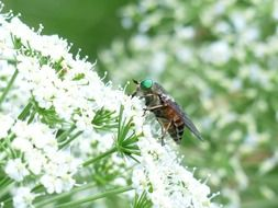 fly on a white flower