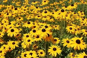 picture of the black eyed susan flowers
