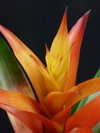 Colorful guzmania flower blossomes