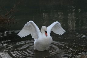 white swan spreading wings