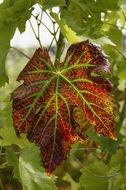 red wine leaf in autumn