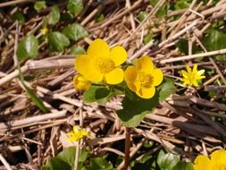 Beautiful Caltha Palustris flowers