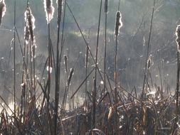 dry reeds in the sunlight