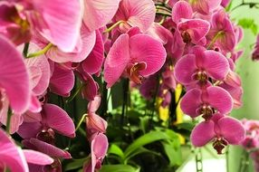 phalaenopsis is a kind of orchid