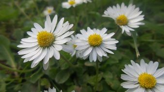 white daisies on summer meadow close up