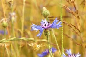cornflower field cereals