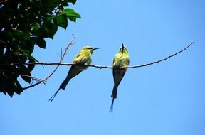 two small birds on branch, green bee-eater, india, dharwad