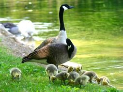 canada goose with chicks on the waterfront