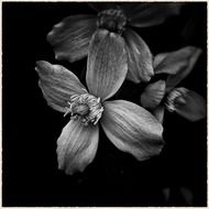 black and white picture of an exotic flower