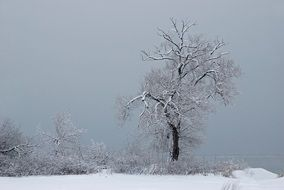 lonely snow tree in winter