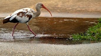 Beautiful Ibis Tropical Bird