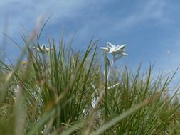 Alpine white edelweiss in the grass
