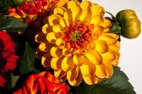 Colorful bright dahlias
