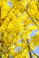 yellow blossoms on branches sunny view