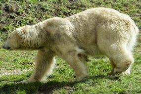 absolutely gorgeous polar bear