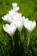 White crocuses on green grass