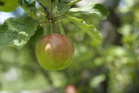 unripe green apple on a branch