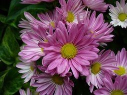 pink and white chrysanthemums in a bouquet