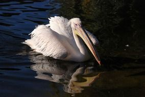 swimming great white pelican