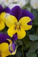 Pansy is an ornamental plant