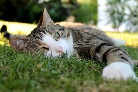 domestic cat with green eyes on the grass close-up