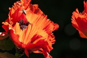 nature ornamental poppies