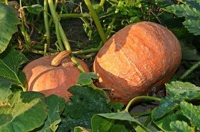 Two pumpkins among the leaves