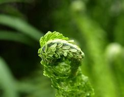 fern leaf in spring