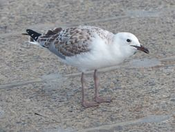 seagull, young silver gull stands on pavement
