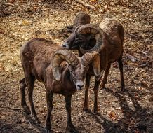 bighorn sheep or ovis canadenis