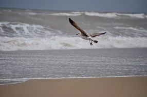 Seagull flies over the waves
