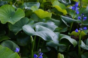 green lotus leaves in the pond