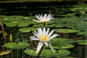 two large water lilies on a pond close up