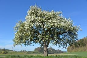 apple tree in white blossom