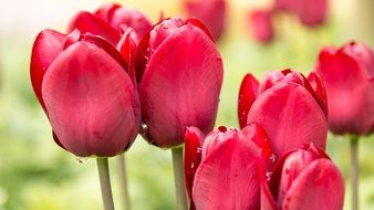 beautiful and delightful red spring tulips