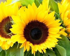 Bright colorful blooming sunflowers