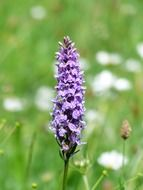 cloeup picture of the heath spotted orchid