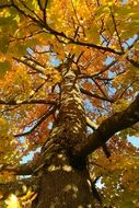 branchy maple tree in autumn