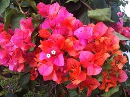 bougainvillea pink flower close
