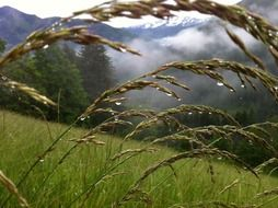 grasses in dew drops on mountain meadow, austria, zell am see