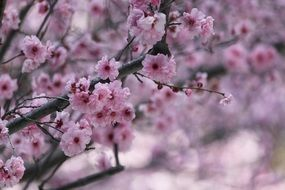 Flowering of Japanese cherries