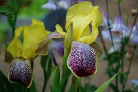 yellow purple iris flowers