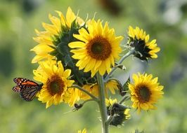 beautiful butterfly on a sunflower