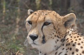 portrait of a cheetah in Africa