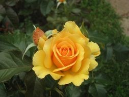 a top view of the yellow rose