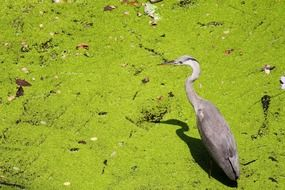 heron stands in green water