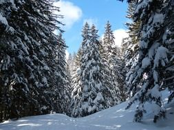 Snow-covered fir trees in the sunlight