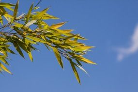 Bamboo leaves against the sky