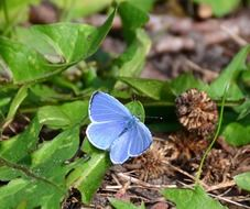 bluish butterfly on green leaves close-up
