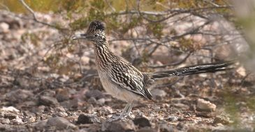 roadrunner bird in wildlife